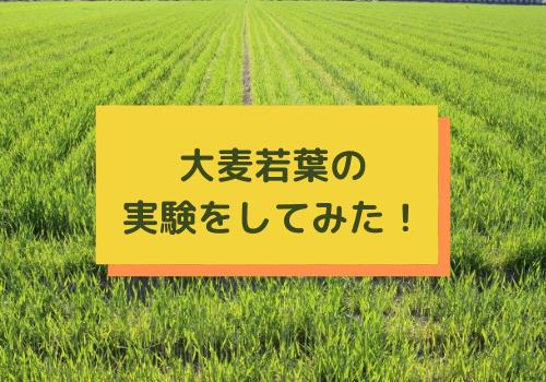 大麦若葉を実験