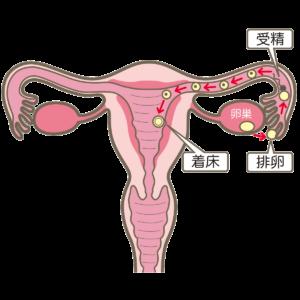 oviduct-ovary-fertilization-sperm-implantation-uterus